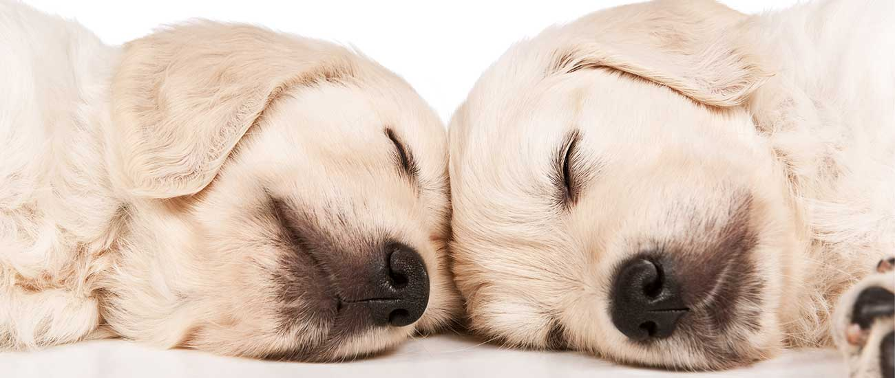 two white puppies sleeping with top of heads touching